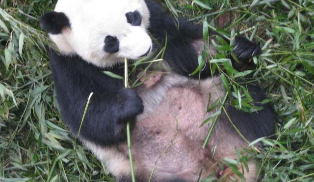 Chengdu und das Reich der Pandas in Sichuan, ChinaTeil 5