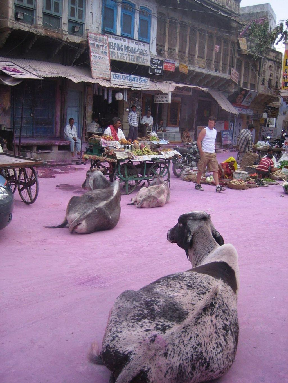am Tag danach gibt´s sogar rosa Kühe