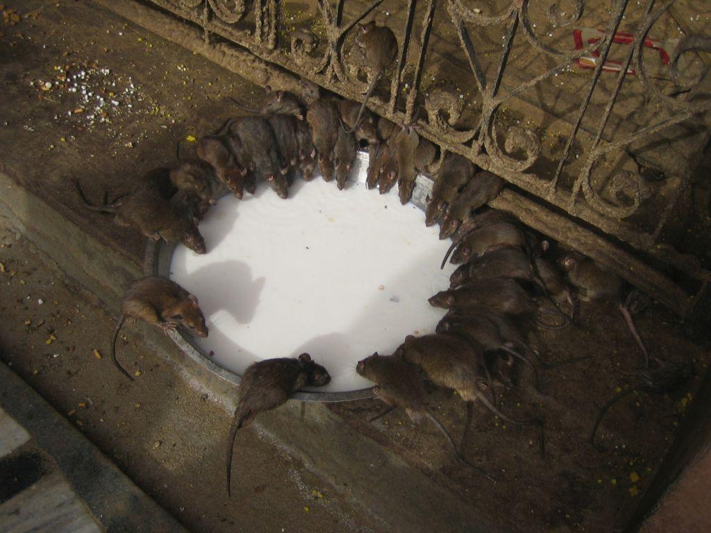 die heiligen Ratten von Bikaner