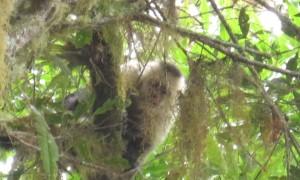 Kapuzineräffchen beim Astwurf