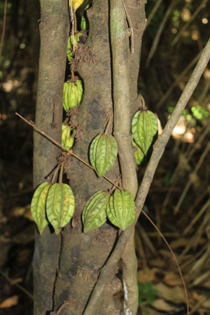 Kakaobohnen in freier Wildbahn