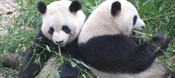 Pandas bei Chendu, China